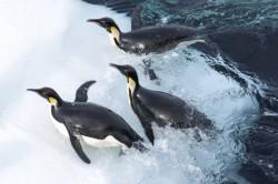 Pingvinek vándorlása 2